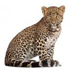 9750407-leopard-panthera-pardus-6-months-old-sitting-in-front-of-white-background.jpg